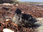 Mutton bird chick